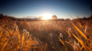 Golden-Grain-Field_www.FullHDWpp.com_
